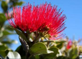 pohutukawa-indulgence-living-tree-gift